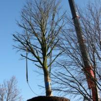 bomen verplanten met kraanmachine Amersfoort