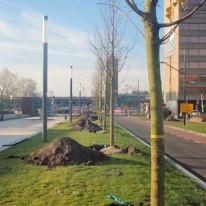 Tilia tomentosa 'Nijmegen'
